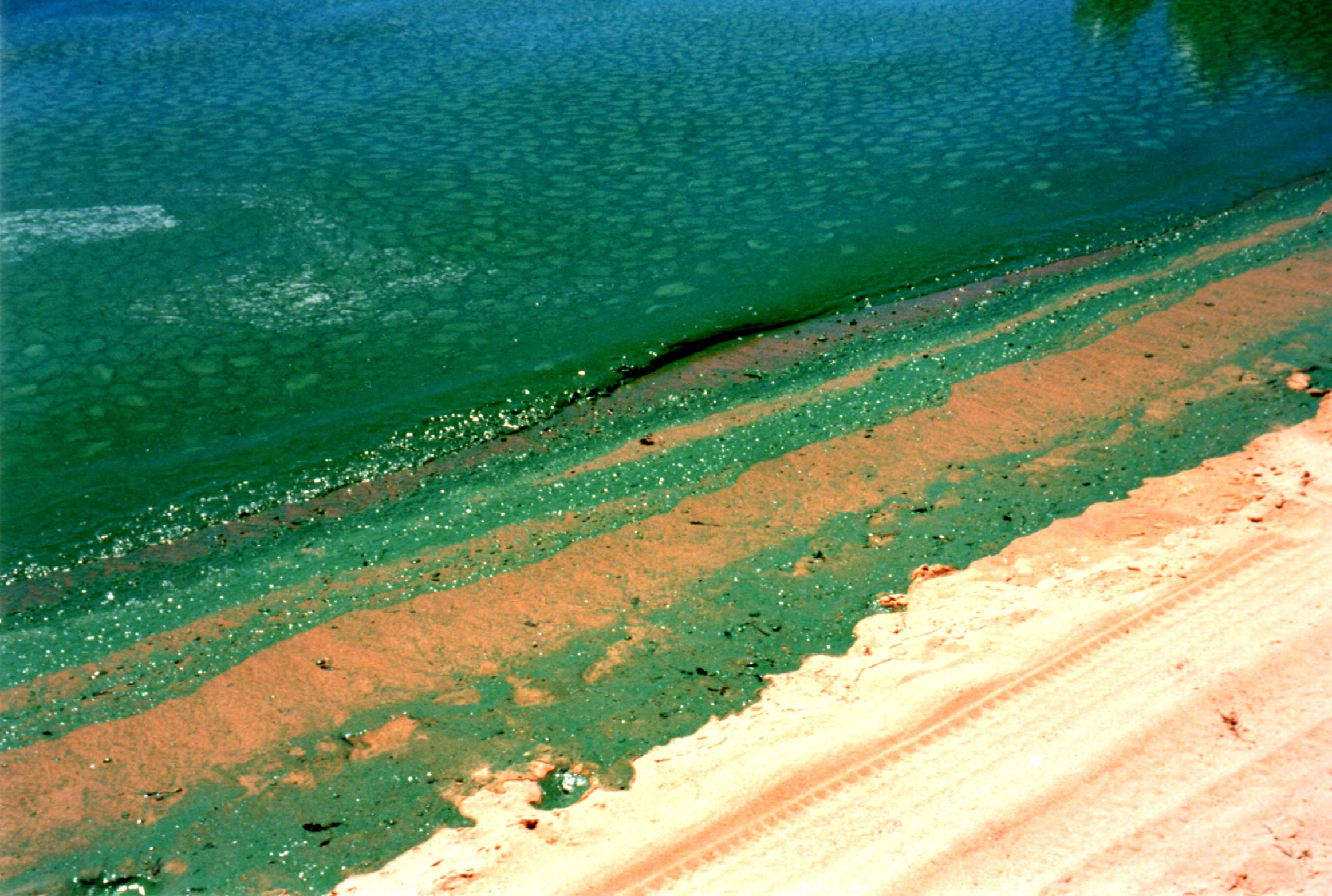 Microcystis algal bloom Matilda Bay